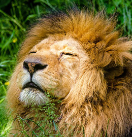 gallery/african-lion-951778_640
